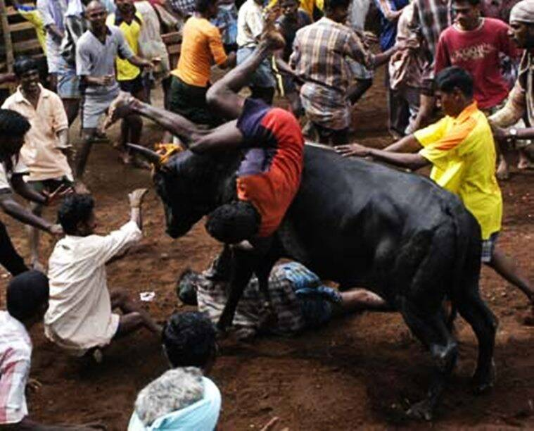 """""""Villages in Tamil Nadu organise Jallikattu on the eve of Mattu Pongal. Here, the participants have to seize a running bull¿at times,"""" *** Local Caption *** """"Villages in Tamil Nadu organise Jallikattu on the eve of Mattu Pongal. Here, the participants have to seize a running bull¿at times,"""""""