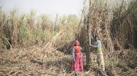 From bitter to sweet: Behtar din for sugarcane growers, finally