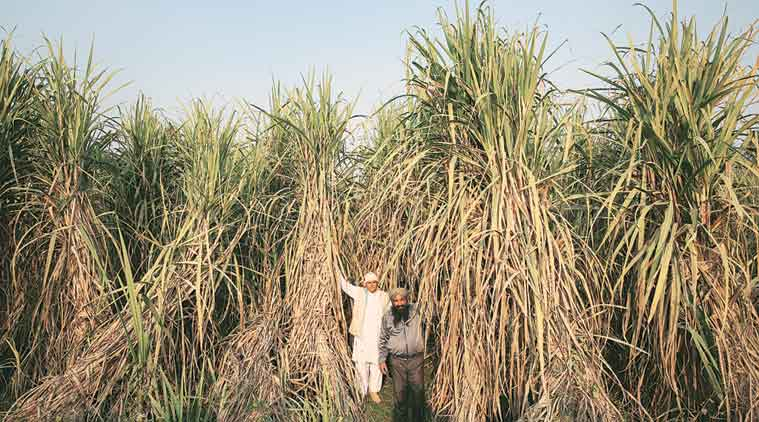 kolhapur farmers, sugar belt maharashtra, cane farming payment, maharashtra farmers, indian express