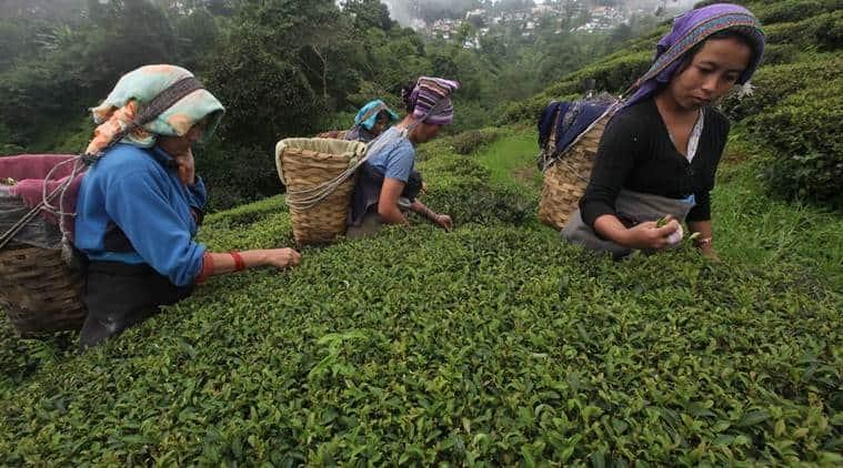 Darjeeling protest, Darjeeling indefinite strike, Tea Garden Labourers Joint Forum, Tea Garden strike,  CITU leader Ajay Mahali, TMC, GJM, indian express news