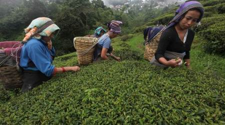 Tea gardens to go on strike over wages