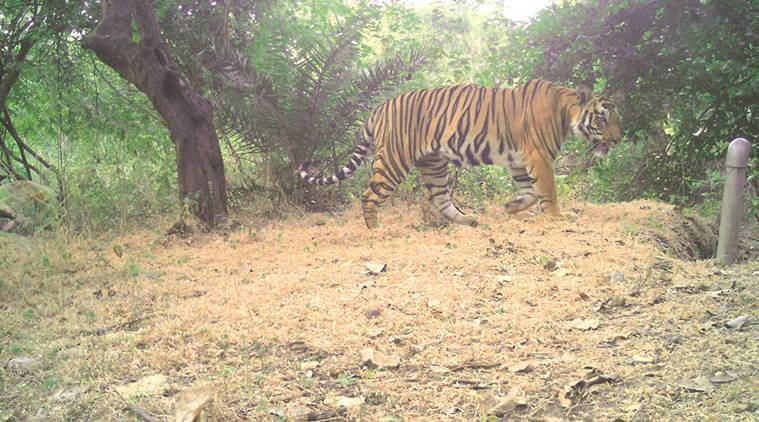 Areas not known to host tigers for many decades are now boasting of significant tiger populations. Express  photo