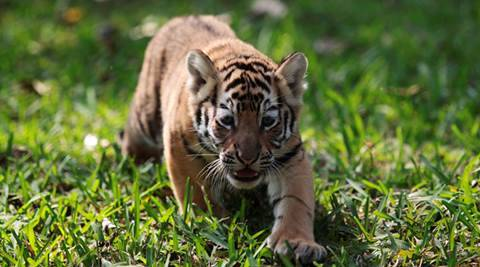 Tiger conservation plans for 16 reserves yet to be submitted