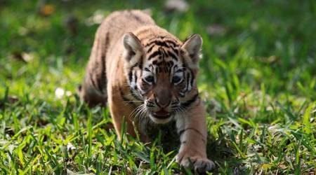 Tiger cub dies in Madhya Pradesh, seventh big cat to die this year