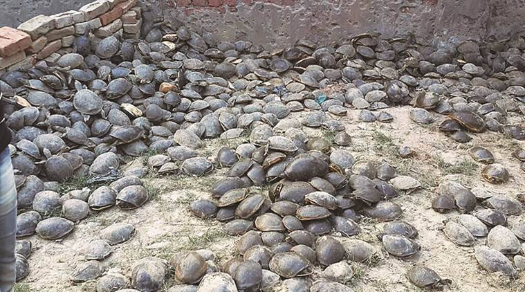 India Turtle rescue, India Turtle smuggling, Indian Turtle black market, Indian Turtles in Black Market, India news, Crime news, National news, India news, Turtles in India, National news
