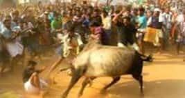 Despite SC Ban Villagers Organise Jallikattu InAlanganallur