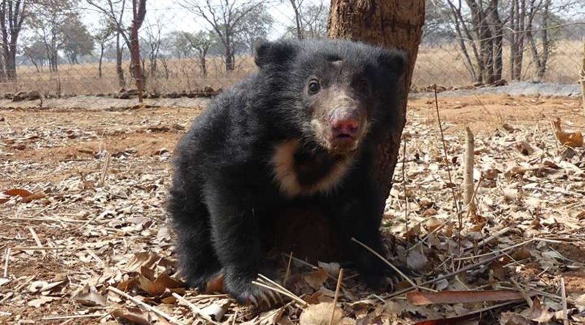 MP: 6 poachers arrested for electrocuting bear, 10-week-old cub ...