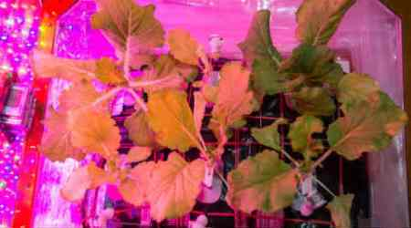 International Space Station, Chinese cabbage, NASA, Tokyo Bekana Chinese cabbage, Fifth crop on ISS,NASA's Johnson Space Center's Space Food Systems team, second veggie system,bigger space garden,Arabidopsis, genetic studies , Science, Science news
