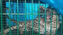 Third leopard trapped in  Sariska, this time a male