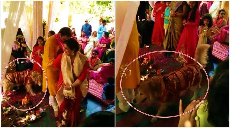 Watch Pet Dog Takes Pheras With Bride And Groom In Wedding