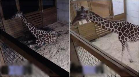 giraffe, girraffe baby, girraffe baby live streaming, April the Giraffe, Animal Adventure Park in Harpursvile, giraffe birth Animal Adventure Park , viral video,