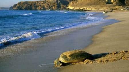 green turtles, green turtle reserve, oman turtle reserve, oman green turtle reserve, Ras al-Jinz Turtle Reserve, indian ocean green turtles, sunday eye, eye magazine, express eye, eye 2017
