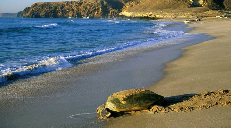 green turtles, green turtle reserve, oman turtle reserve, oman green turtle reserve, Ras al-Jinz Turtle Reserve, indian ocean green turtles, sunday eye, eye magazine, express eye, eye 2017