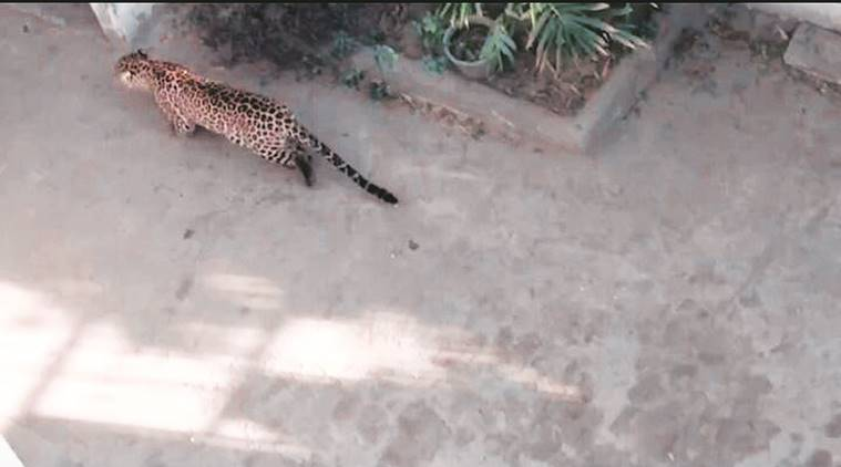Leopard rescued, palwal Leopard rescued, forest department, gurgaon, gurgaon Leopard rescued, delhi, delhi news, indian express news