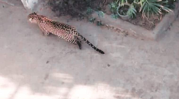 leopard, leopard found, Leopard rescued, palwal Leopard rescued, forest department, gurgaon, gurgaon Leopard rescued, delhi, delhi news, indian express news
