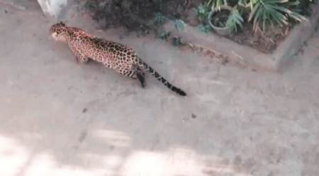 Watch video: Leopard enters girls hostel in Mumbai, attacks dog