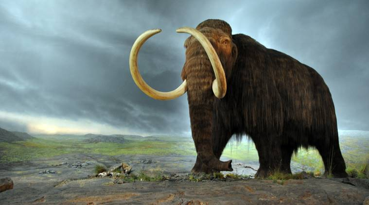 woolly mammoth, mammoth, woolly mammoth extinction, mammoth extinction, mammoth extinct, extinct species, extinct animals, wolly mammoth resurrection, ice age animals, tech news, latest news