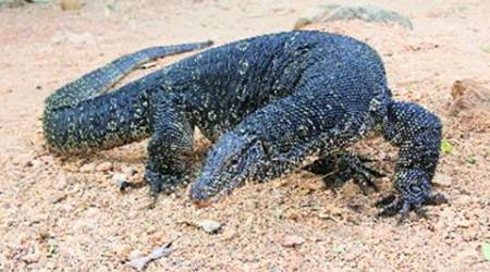 Before 4 monitor lizard deaths at Delhi zoo, 5 that wentunreported