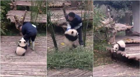 panda, cute panda videos, baby panda video, panda cute video, funny panda videos, viral panda video, viral video, cute baby videos, latest news, trending news, viral news, indian express