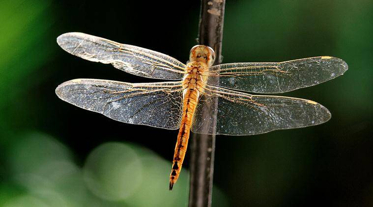 dragonflies, butterflies, dragonflies nature, dragonflies habitat, flying insects, elytra, insects elytra, sunday eye, eye magazine, ranjit lal column