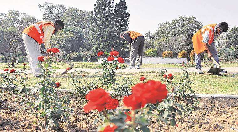 Preparation of Rose Festival in progress at Rose Garden in sector 16 Chandigarh on Monday, February 06 2017. Express Photo by Sahil Walia