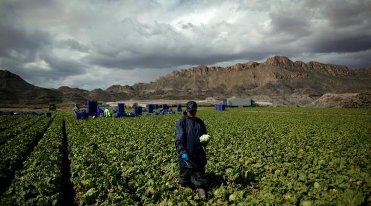 Spanish lettuce, spanish lettuce shortage, lettuce shortage, spanish farmers, spanish droughts, spain news, world news, latest news, indian express