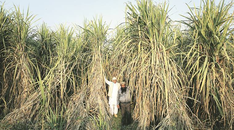 As sugar prices slide, UP cane dues touch a high of Rs 6,500 crore