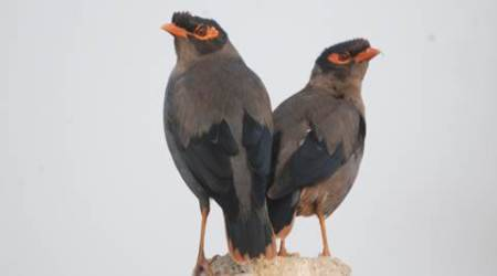 birds, bird watching, mainas, mynahs, indian mynas, birdwatching tips, nature, indian birds, sunday eye, eye 2017, sunday eye magazine, indian express