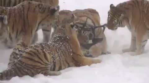 Tigers chasing a drone, tigers chasing a drone in China, siberian tigers chasing a drone, tigers knocking down a drone, wild cats chasing a drone, indian express, indian express news