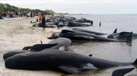 new zealand beach whales stranded, whales stranded, whales stranded on beach, New Zealand Farewell Spit, Farewell Spit whales stranded, whales rescue volunteers, world news, indian express news
