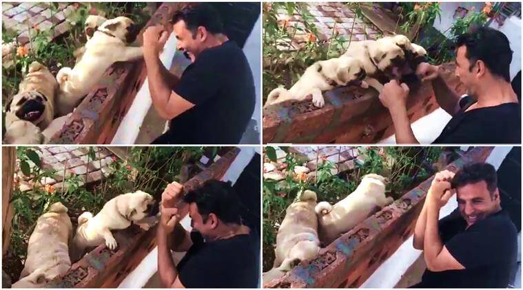 akshay kumar, akshay kumar pugs, akshay kumar dogs, akshay kumar boxing pugs, akshay kumar video, akshay kumar pugs boxing video, akshay kumar boxing his pugs cute video, indian express, indian express news