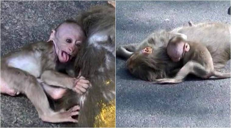 viral video, baby monkey crying for mother, weeping baby monkey for dead mother, animal videos, viral animal video, india news, wildlife news, latest news, indian express