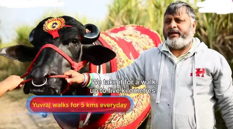 buffalo 9.5 crores, costliest bull, costliest bull in india, buffalo in gramodaya mela, buffalo price of 9 crores, indian express, indian express news