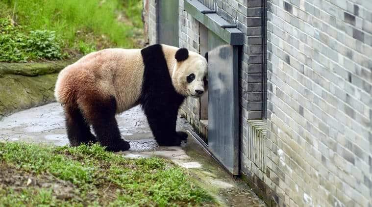 panda, US born panda, Bao Bao, Bao Bao panda, Pandas in China, China panda, Dujiangyan, indian express news