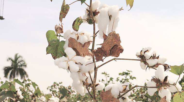 cotton, cotton production, cotton variety, cotton type, Central Institute for Cotton Research, cotton growth, CICR, indian express news, india news