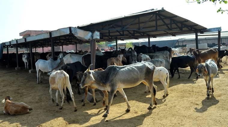 cow protection, 25 cows dead, cows dead in kurukshetra, cow shelter, gau rakshaks, gau shala, haryana news, india news, indian express