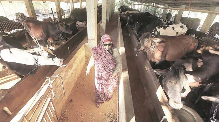 maharashtra dairies, dairy farm maharashtra, maharashtra drought, india news, indian express news