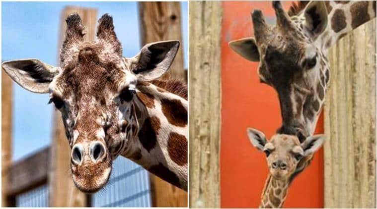 april giraffe giving birth, giraffe giving birth to baby today, live video of giraffe giving birth, giraffe at new york zoo giving birth, indian express, indian express news