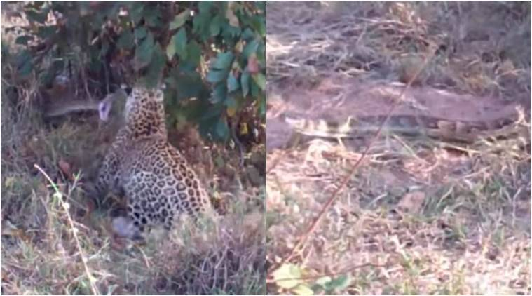 video of leopard attacking python, python fighting with leopard, video clip of leopard fighting python, at kruger national park, indian express, indian express news