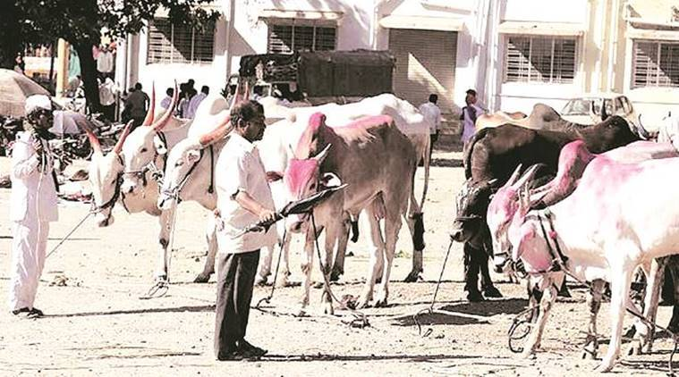 Image result for Maharashtra: In 50 years, from 66,000 per lakh citizens, livestock fell to 29,000,