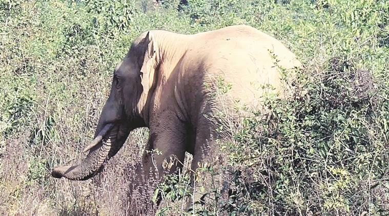 Odisha, Odisha elephant, Odisha elephant stuck with scooter tyre, Chandaka-Dompada wildlife sanctuary, tusker, elephant tusker, Odisha elephant leg, Athagarh forest division, India news, Indian express