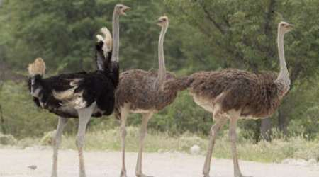 Ostrich, archaeologists, Centre for Cellular and Molecular Biology, 'ancient DNA' facility, bio-geographical dispersion,Gondwanaland, Gondwana,  mitochondrial DNA, Science, Science news
