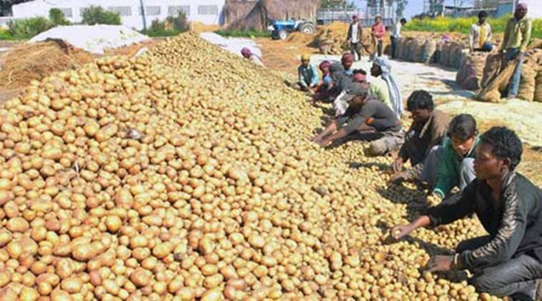 Potato, Potato farmers, Lays potato farmer, farmer corporates, PepsiCo farmers, contract farming initiative, contract farming, corporate farming, business news