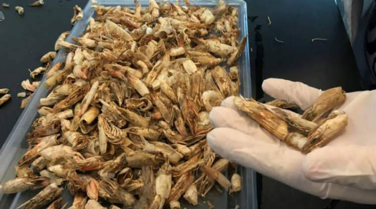 Shrimp shells, biodegradable waste, biodegradable plastic, unwanted shrimp shells , chitosan prototype, Nile University, Egypt, Science, Science news
