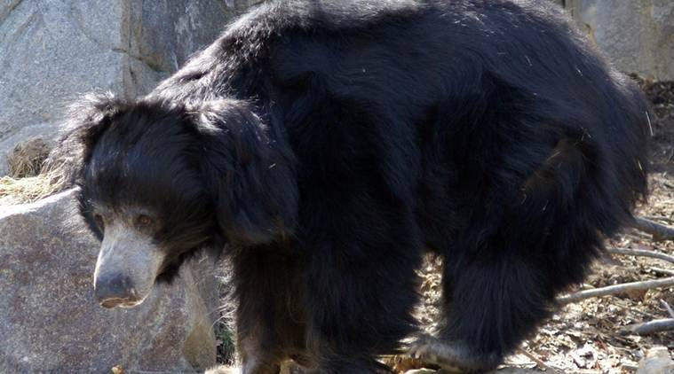 Sloth bear attack: Forest official killed, 3 injured in ...