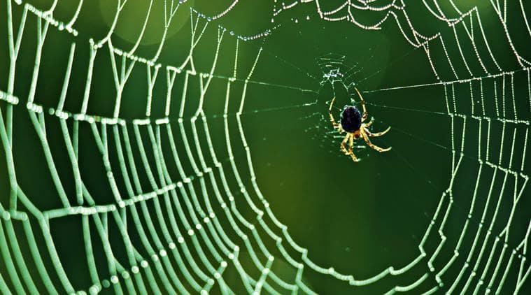 spider silk, spider web, spider silk use, what is spider silk, indian express, research