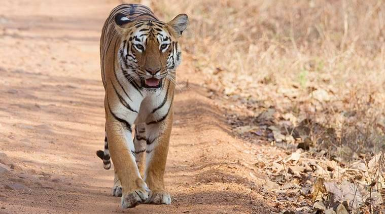 Tiger, Cattle protection, Sathyamangalam Tiger Reserve, Forest department