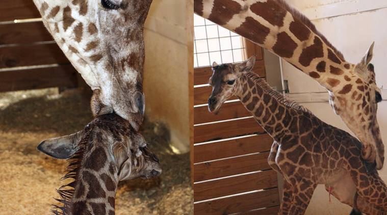 The Internet Is Gratified: 'April The Giraffe' Gives Birth On Popular Livestream
