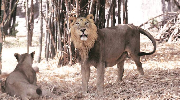 Asiatic lion, Katraj Zoo, pune zoo, Katraj Zoo revenue, Rajiv Gandhi Zoological Park, pune, pune news, indian express news