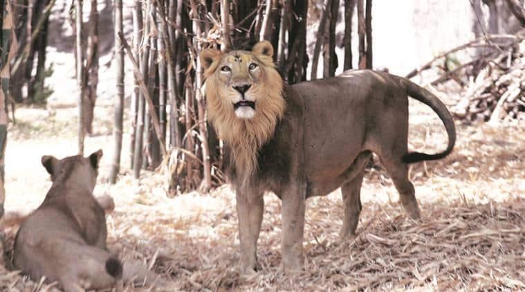 Rajkot zoo, rajkot zoo lion, asiatic lion, Pradyuman Park